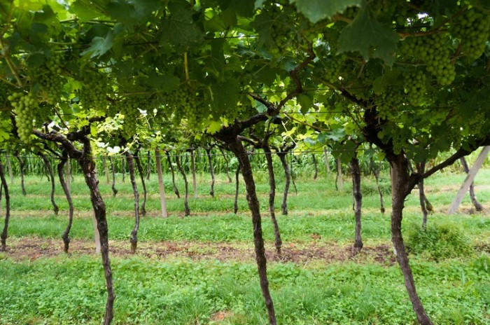 grape_vines_riva_photography
