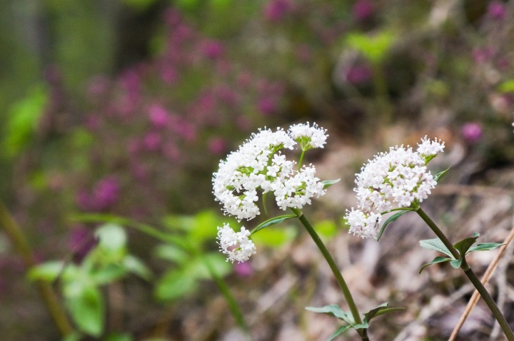 sights_around_italy_may_2015_pretty_flowers