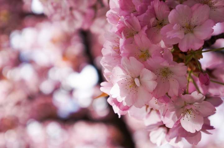 cherry_blossoms_spring_university_washington_trendy_techie_3