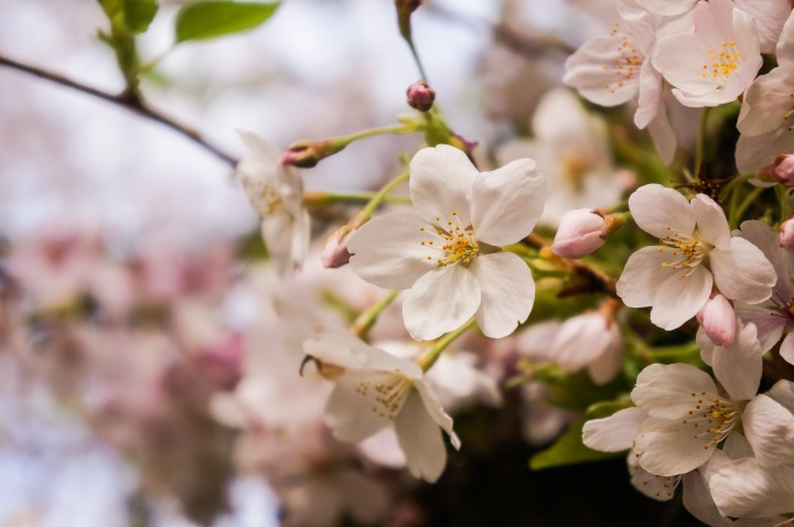 cherry_blossoms_spring_university_washington_trendy_techie_5