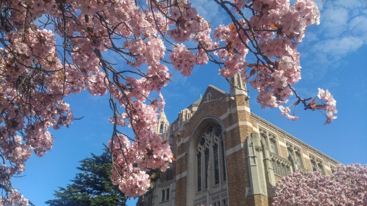 cherry_blossoms_spring_university_washington_trendy_techie_9